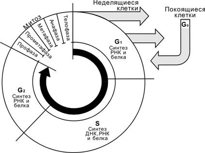 Гистология новая Глава 01 2005
