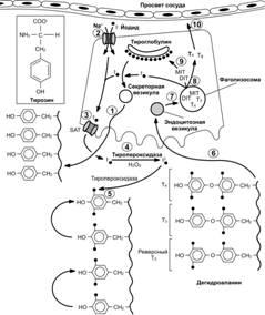 Лучевое исследование эндокринной системы - презентация онлайн