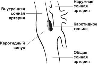 Рецепторы каротидного тельца