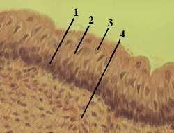 багатошаровий плоский ороговевающий выстилает