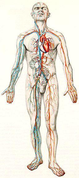 Схема - сердце и кровеносные