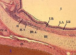 Строение бронха среднего калибра гистология