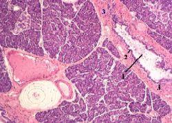 Поджелудочная железа гистология картинки